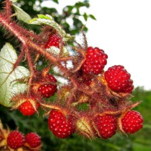 Rubus hybrid 'Japanese Wineberry' - Szedermálna