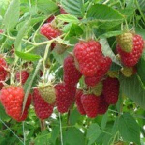 Rubus idaeus 'Tulameen' - Málna