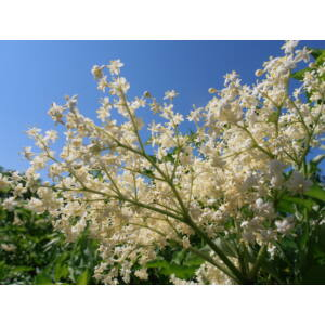 Sambucus nigra 'Haschberg' - Bodza