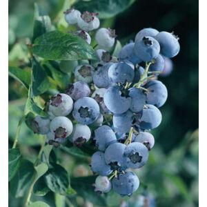 Vaccinium corymbosum 'Bluegold' - Magasbokrú kék áfonya