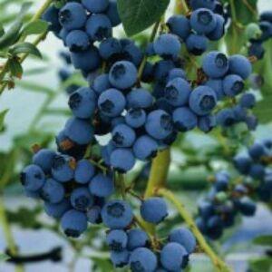Vaccinium corymbosum 'Blueray' - Magasbokrú kék áfonya