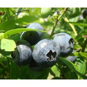 Vaccinium corymbosum 'Darrow' - Magasbokrú kék áfonya