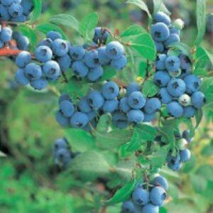 Vaccinium corymbosum 'Duke' - Kék áfonya