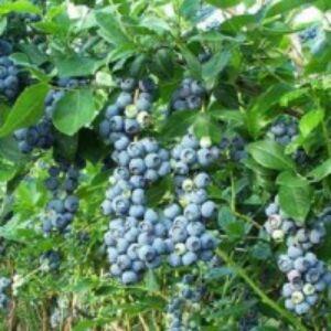 Vaccinium corymbosum 'Spartan' - Magasbokrú kék áfonya