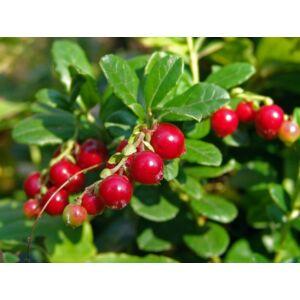 Vaccinium vitis-idaea 'Red Pearl' - Vörös áfonya