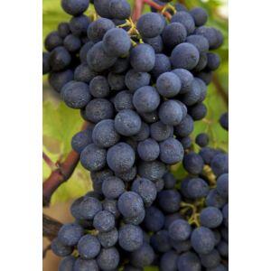 'Kadarka' vörös borszőlő