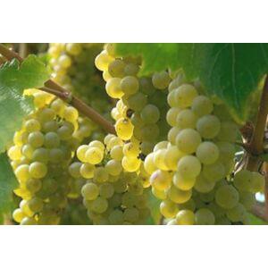 'Szultán' fehér magvatlan csemegeszőlő