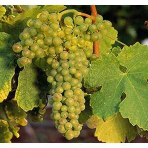 'Viktória' különleges csemegeszőlő