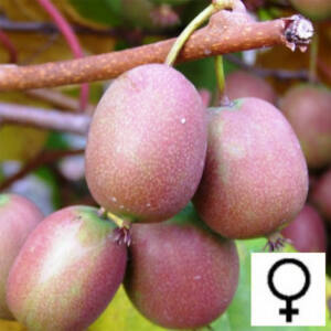 Actinidia arguta 'Ananasnaya' – Édes mini kivi (Termős)