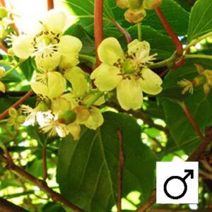 Actinidia arguta 'Weiki' - Porzós kivi