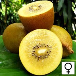 Actinidia chinensis 'Golden Delight' – Aranysárga húsú kivi (termős)