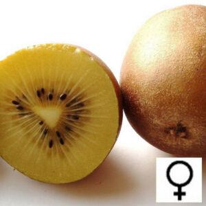 Actinidia deliciosa 'Golden Kivi' – Aranysárga húsú kivi (termős)