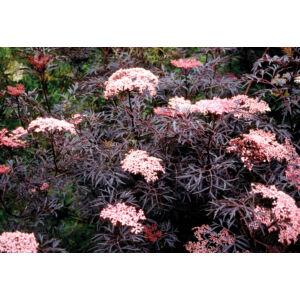 Sambucus nigra 'Black Lace' - Bordó, szeldelt levelű bodza