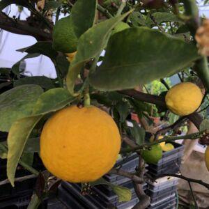 Termő törzses citromfa