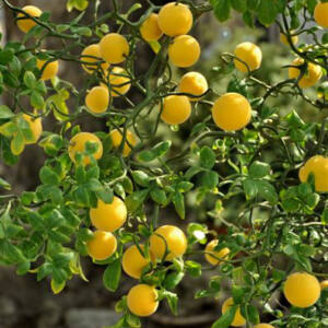Citrus triptera – Vadcitrom