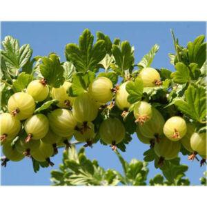 Ribes uva-crispa - Egres bokor