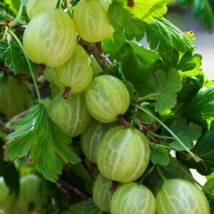 Ribes uva-crispa 'Invicta' - Egres fa