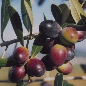 Olea europea 'Leccino' - Európai olajfa