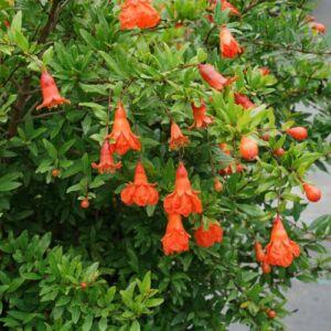 Punica granatum 'Pleniflora' – Teltvirágú gránátalma (dísz)