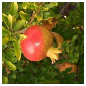 Punica granatum 'Hicaz' – Gránátalma (termő)