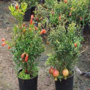 Punica Punica granatum 'Nana' – Törpe, ehető gránátalma (termős)– Gránátalma (termős)