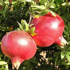 Punica granatum 'Parfianca' - Bokros gránátalma (termő)