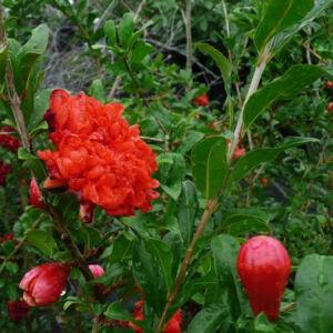 Punica granatum 'Wonderful' – Gránátalma (termő)