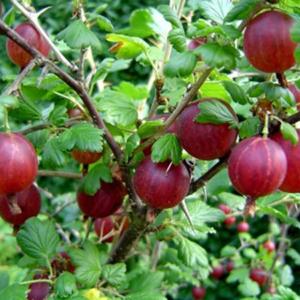 Ribes uva-crispa 'Piros ízletes' - Egres fa