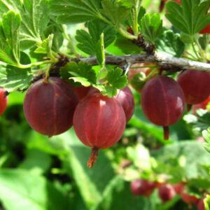 Ribes grossularia 'Hinnomaki Piros' – Egres
