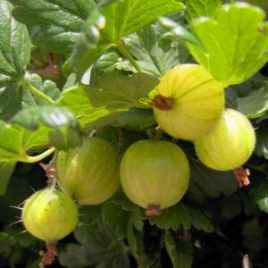 Ribes grossularia 'Hinnomaki Zöld' – Egres