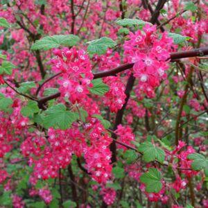 Ribes sanguineum 'Pulborough Scarlet' – Vérvörös ribiszke