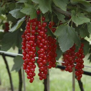 'Rovada' bőtermő piros ribizli
