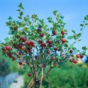 Ribes uva-crispa 'Rokula' - Egres fa