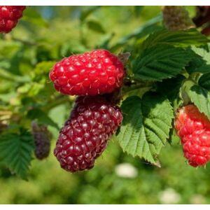 Rubus tayberry 'Buckingham ®' - Szedermálna