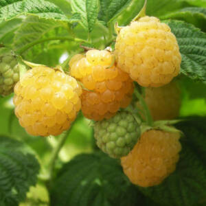 Rubus idaeus 'Golden Everest' – Sárga málna