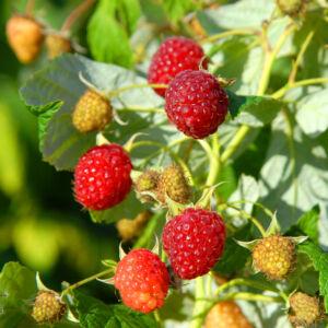 Rubus idaeus 'Heritage' – Málna