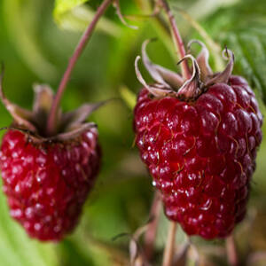 Rubus idaeus 'Zefa III' – Málna