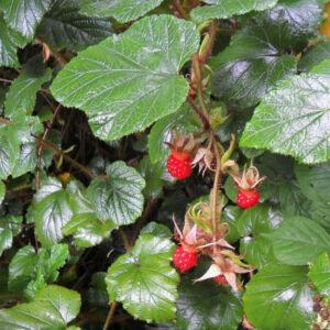 Rubus 'Tricolor' – Örökzöld szeder
