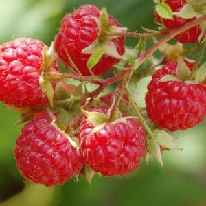 Rubus idaeus 'Blissy' - Málna