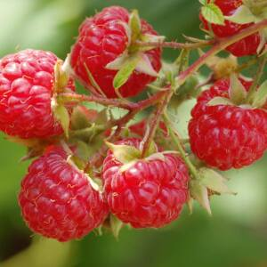 Rubus idaeus 'Blissy' - Folytontermő málna
