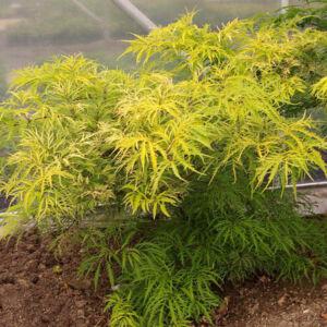 Sambucus nigra 'Golden Tower®' – Arany, szeldelt levelű bodza