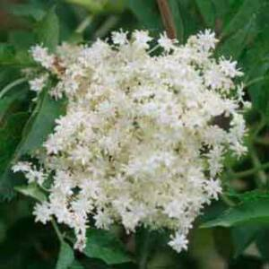 Sambucus nigra 'Monstrosa' – Dúsvirágú fekete bodza