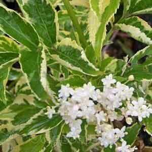 Sambucus nigra 'Naomi' – Aranytarka fekete bodza