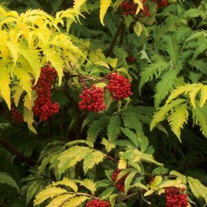 Sambucus racemosa 'Sutherland Gold' – Ékszer fürtös bodza