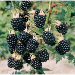 Rubus fruticosus 'Thornfree' - Tüskenélküli fekete szeder
