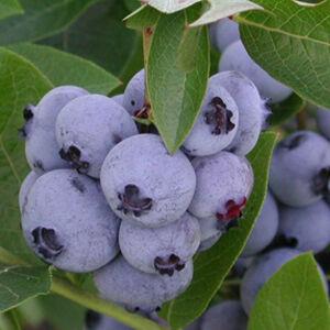Vaccinium corymbosum 'Bluejay' - Magasbokrú kék áfonya