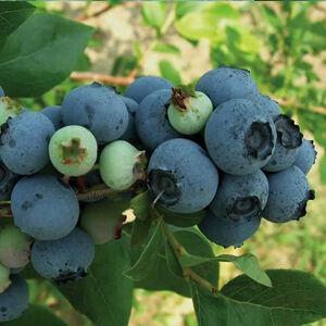 Vaccinium corymbosum 'Coville' - Kék áfonya