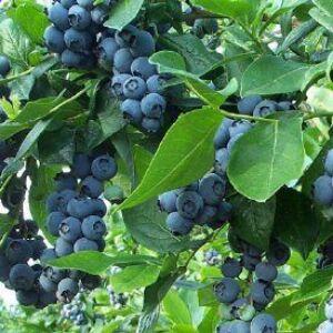 Vaccinium corymbosum 'Jersey' - Óriás kék áfonya
