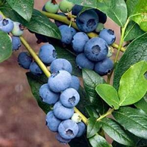 Vaccinium corymbosum 'Patriot' - Óriás kék áfonya