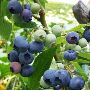 Vaccinium corymbosum 'Réka' - Magasbokrú kék áfonya